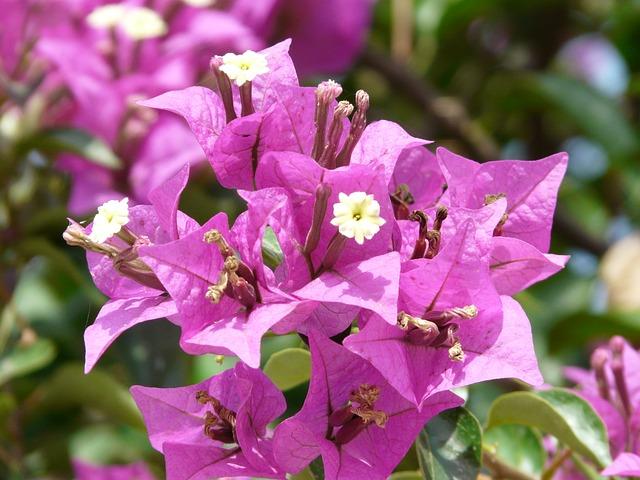 Balkonpflanze sonnig Bougainville