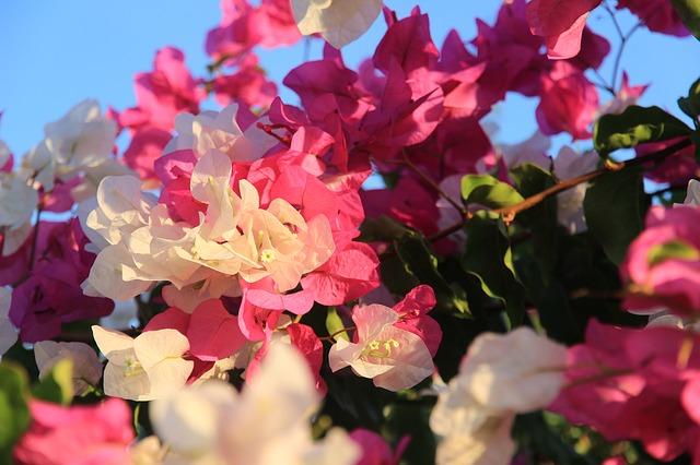Oleander in der Sonne