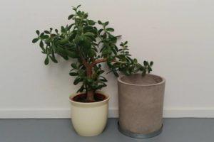 Pflanze zum umtopfen bereit