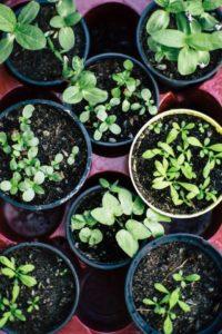 Kräuter in Töpfen selber anbauen